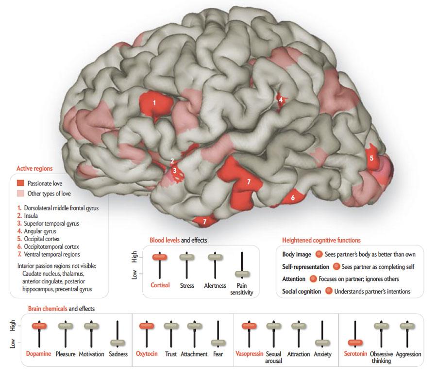 El cerebro enamorado es mas listo | So many things