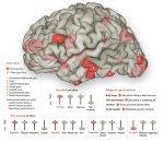 El cerebro enamorado es maslisto